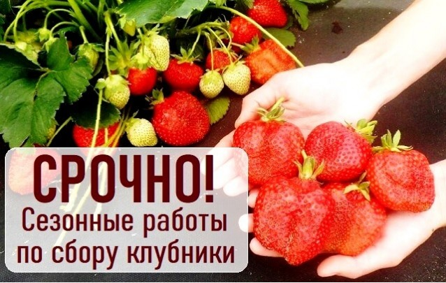 Срочно работа в Беларуси: сбор урожая клубники